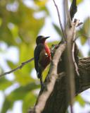 Puerto Rican Woodpecker (Male), Maricao State Forest