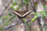 Cayman Swallowtail (Very Worn), Grand Cayman Island