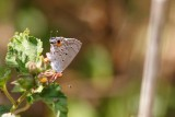 Mallow-Scrub Hairstreak Butterfly, Grand Cayman Island
