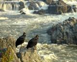 Waiting for Something to Die | |  American Black Vulture