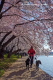 Washington's Cherry Blossoms