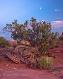 Tree in Desert at Dusk
