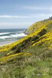 Gorse Blooming in Spring