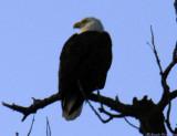 Eagle.jpg(128)