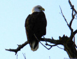 pearched Eagle.jpg(136)