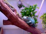 Red eyed Frog.jpg(155)