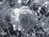Pink rose seen as black  white.jpg(184)