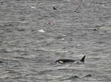 Orca Head
