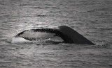 Wild Whales and Orcas