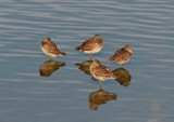 Dowitchers Mirrored