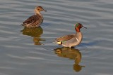 Green Winged Teal Couple