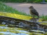 Kinglet at the Fountain