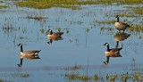 Mirrored Canada Geese