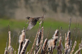 Young Red-Winged Blackbird All Spread Out