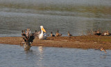 Canada Goose, Pelican, Killdeer