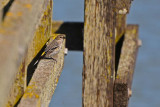 Yellow-rumped Warbler on the Dock