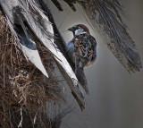 House Sparrow on Palm