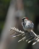 Sparrow on Dead Branch