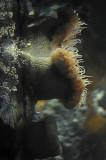Large Anemone Reflected