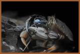 Crab Having a Ball