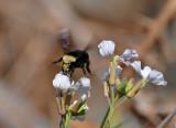 Bee Landing on Wild Radish