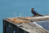 Barn Swallow Shows His Color
