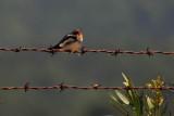Singing Tree Swallow