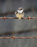 Young Swallow Perched on a Wire