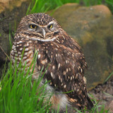 Burrowing Owl in Grass