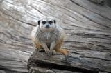 Meerkat on Wood