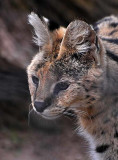 Face of the Serval