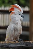 aka Salmon-crested Cockatoo