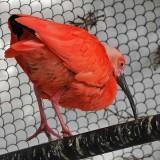 Scarlet Ibis Hops