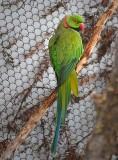 Ring-necked Parakeet.