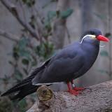 Inca Tern Posing