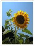 Sunflower and Sky