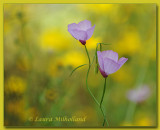 Sierra Foothills Wildflowers
