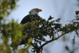 #53 Bald Eagle Perch