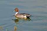 11/3/10: Northern Pintail Reflected