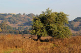 Tree & Cows