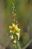 Moth Mullein - wildflower