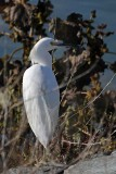 Snowy Egret - Over Shoulder Glance