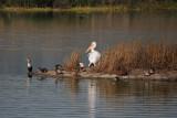 Cormorant, Pelican, Ducks