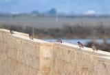 Five Western Bluebirds