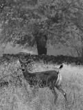 Deer in Penn Valley
