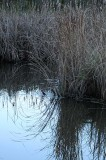 Reeds Reflected