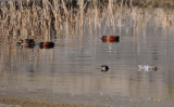 Green-winged Teal and Cinnamon Teal