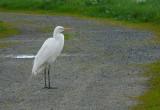 Great Egret Blocking the Path