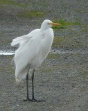 Windblown Egret