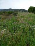 Wild Radish Field